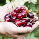 Enesa acepta mejorar el seguro de cereza