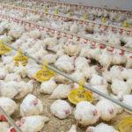 La Comision Europea definirá nuevos indicadores de bienestar animal en broilers