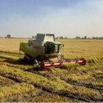 Se estiman unos 10 M€ de pérdidas en arroz redondo en la presente campaña