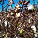 Las lluvias ralentizan aún másuna ya tardía campaña de algodón