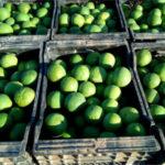 Piden inspecciones para evitar la recolección de navelinas verdes en la Comunidad Valenciana