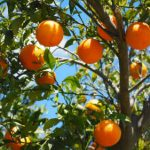 La producción citrícola española podría rebasar los 7 Mt