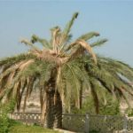 Establecidos los requisitos para el control del picudo rojo de las palmeras