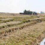 ¿Cómo se está desarrollando la recolección del arroz en Andalucía?