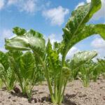 Abierta una nueva convocatoria para incorporarse a la ayuda agroambiental a la remolacha en Castilla y León