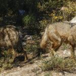 UPA acusa a la UE de no garantizar la justicia ni la igualdad ante los ataques de lobo